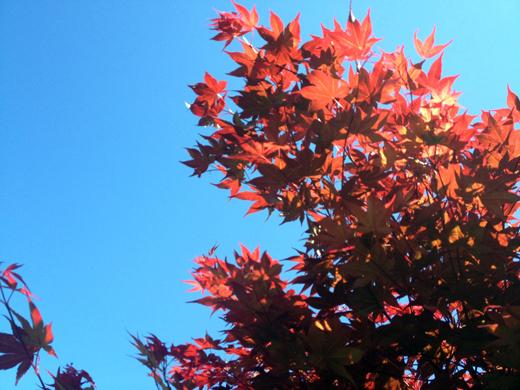 Acer palmatum 'Atropurpureum' 2