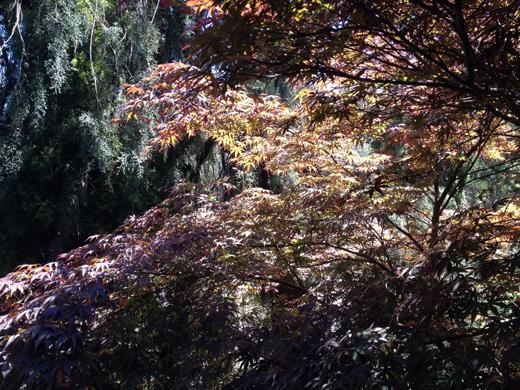 Acer palmatum 'Oshu Shidare'04