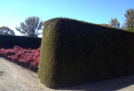 Thuja plicatum hedge