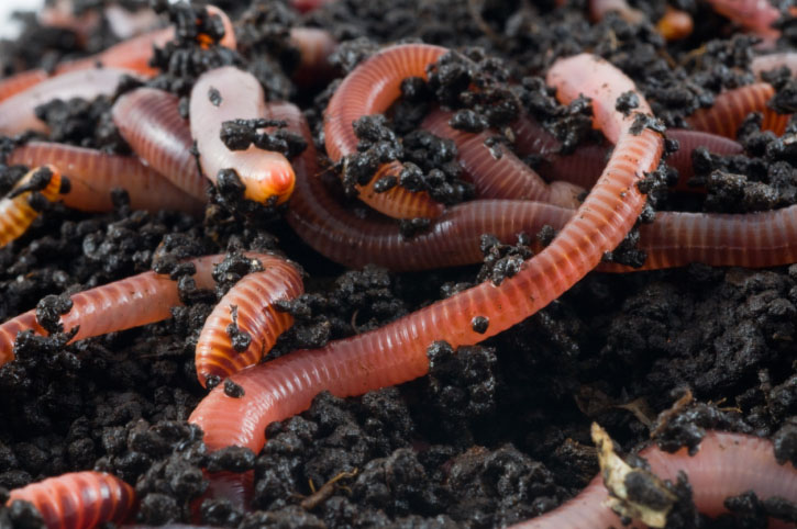Earthworms in the earth