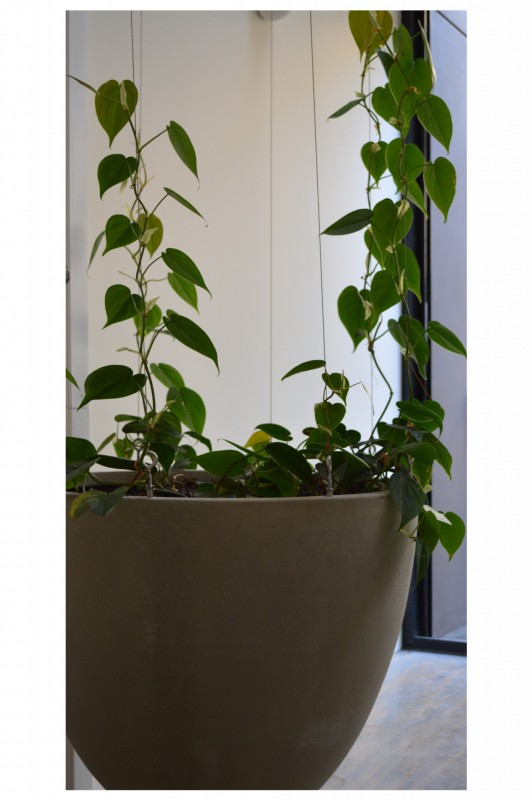 philodendron[1]